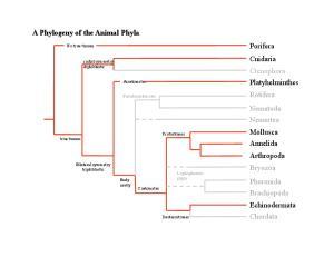 A Phylogeny of the Animal Phyla. Porifera Cnidaria Ctenophora Platyhelminthes Rotifera Nematoda Nemertea. Mollusca Annelida Arthropoda