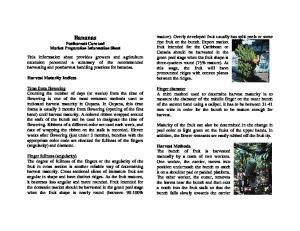 Bananas Postharvest Care and Market Preparation Information Sheet