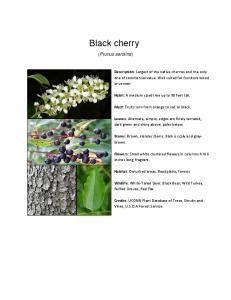 Black cherry. (Prunus serotina)