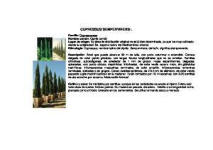 CUPRESSUS SEMPERVIRENS L