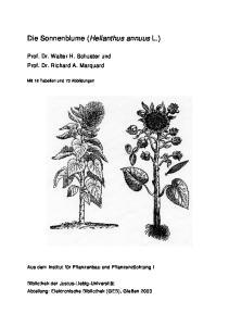Die Sonnenblume (Helianthus annuus L.)
