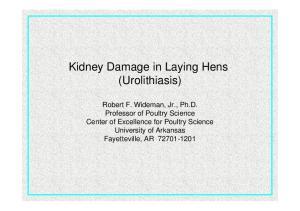 Kidney Damage in Laying Hens (Urolithiasis)