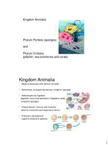 Kingdom Animalia. Kingdom Animalia: Phylum Porifera (sponges) and. Phylum Cnidaria (jellyfish, sea anemones and corals)