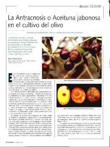 La Antracnosis o Aceituna jabonosa en el cultivo del olivo