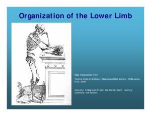 Organization of the Lower Limb