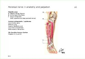 Peroneal nerve > anatomy and palpation