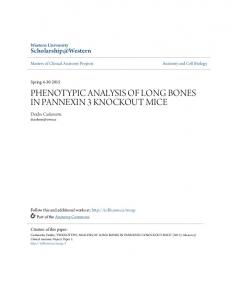 PHENOTYPIC ANALYSIS OF LONG BONES IN PANNEXIN 3 KNOCKOUT MICE