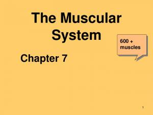 The Muscular System muscles. Chapter 7