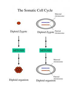 The Somatic Cell Cycle