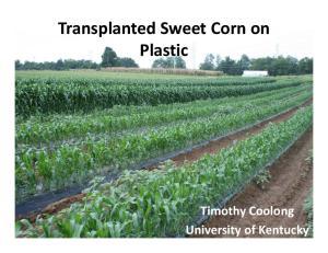 Transplanted Sweet Corn on. Timothy Coolong University of Kentucky