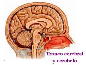 Tronco cerebral y cerebelo