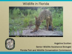 Wildlife in Florida. Angeline Scotten Senior Wildlife Assistance Biologist Florida Fish and Wildlife Conservation Commission